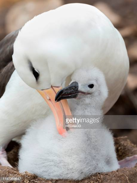 Adult and chick on tower shaped nest Blackbrowed albatross or blackbrowed mollymawk South America Falkland Islands January