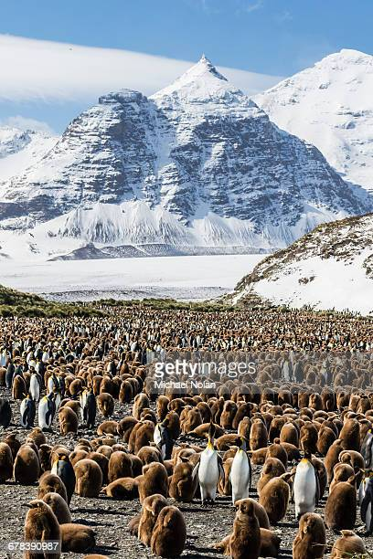 adult and juvenile king penguins (aptenodytes patagonicus), at breeding colony at salisbury plain, south georgia, polar regions - zuid georgia eiland stockfoto's en -beelden