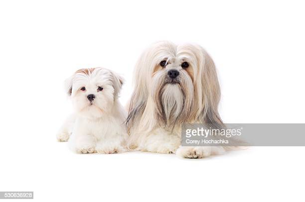 adult and puppy lhasa apsos - lhasa apso stock photos and pictures
