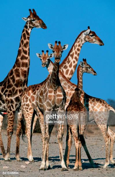 Adult and Young Reticulated Giraffes
