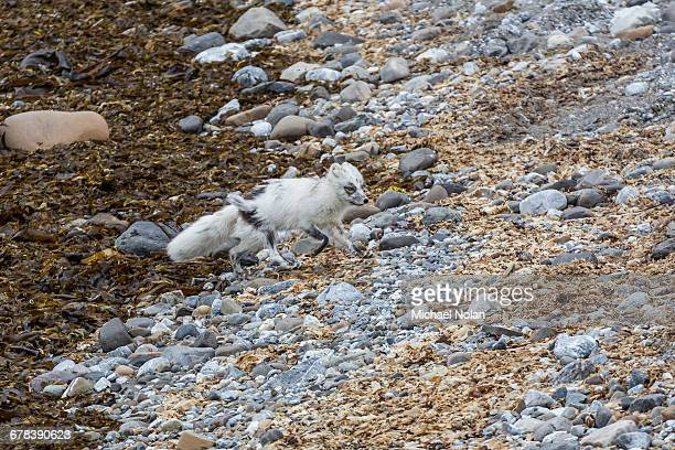adult arctic fox (vulpes lagopus) losing its winter coat for its summer coat, gnalodden, hornsund, spitsbergen, svalbard, arctic, norway, scandinavia, europe - arctic fox stock pictures, royalty-free photos & images