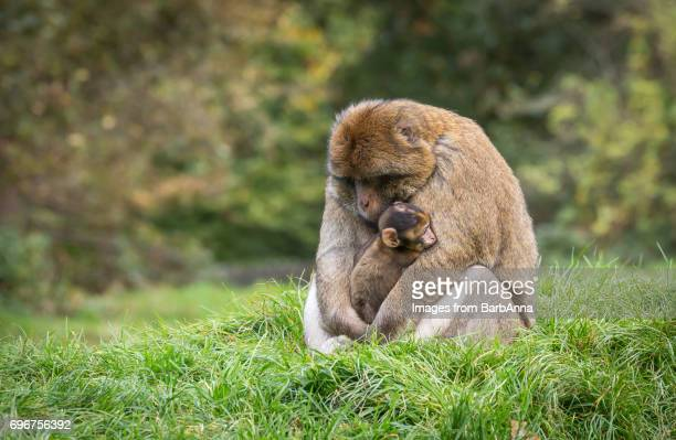 adult barbary macaque (macaca sylvanus) cuddles infant - animal family stock pictures, royalty-free photos & images