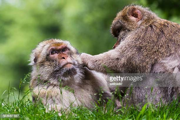 Adult Barbary macaques grooming each other