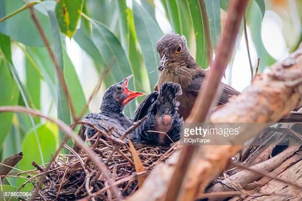 adult bird (turdus rufiventris) also known as zorzal and sabiá, feeding chicks in nest - lijster stockfoto's en -beelden