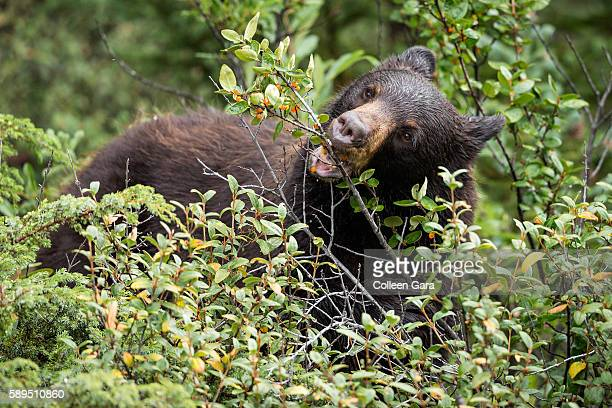 Adult Black Bear, Ursus americanus, Eating Berries in Kananaskis Country, Alberta, Canada