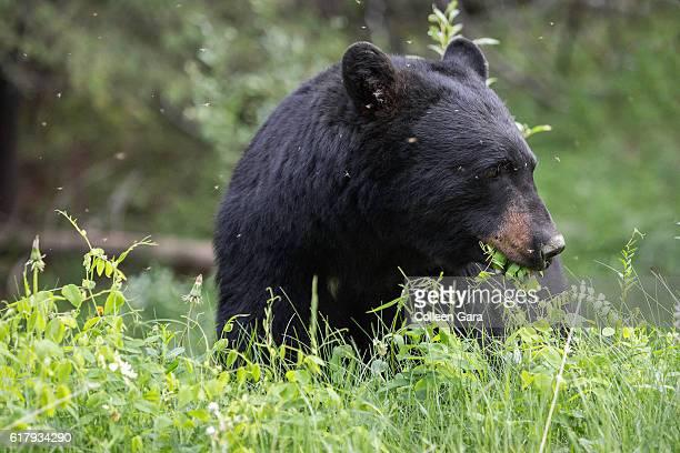 Adult Black Bear, Ursus americanus, Eating Grasses in Banff National Park, Alberta, Canada