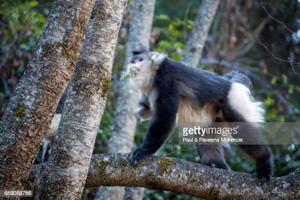adult black snub-nosed monkey (yunnan snub-nosed monkey),(rhinopithecus bite) climbing on tree branch with lichen in its mouth - provinz yunnan stock-fotos und bilder