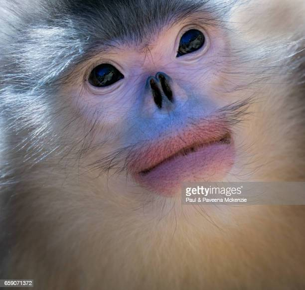 adult black snub-nosed monkey (yunnan snub-nosed monkey),(rhinopithecus bite) portrait - yunnan snub nosed monkey stock pictures, royalty-free photos & images