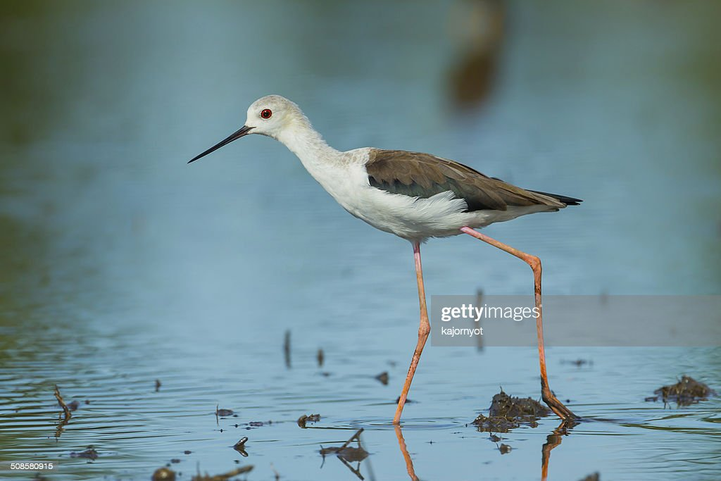 adult Black-winged Stilt(Himantopus himantopus ) : Stock Photo