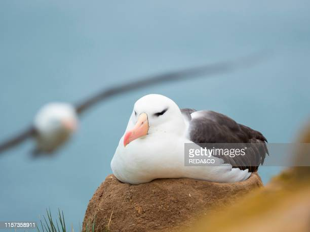 Adult brooding on tower shaped nest. Black-browed albatross or black-browed mollymawk . South America. Falkland Islands. January.