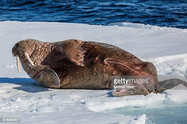 adult bull atlantic walrus (odobenus rosmarus rosmarus) rolling on its back on ice in storfjorden, svalbard, arctic, norway, scandinavia, europe - walrus stock photos and pictures