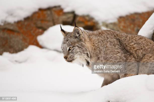adult canadian lynx is getting ready to jump. - canadian lynx stock pictures, royalty-free photos & images