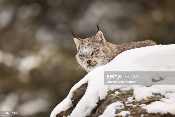 adult canadian lynx is looking for a prey. - canadian lynx stock pictures, royalty-free photos & images