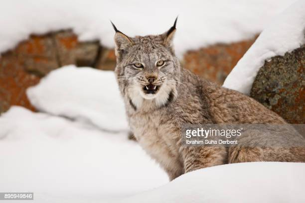 adult canadian lynx is roaring slowly - canadian lynx stock pictures, royalty-free photos & images