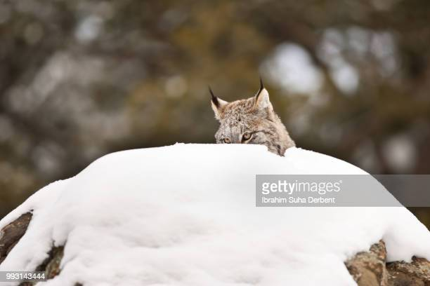 adult canadian lynx is sneaking behind a rock. - bozeman stock pictures, royalty-free photos & images
