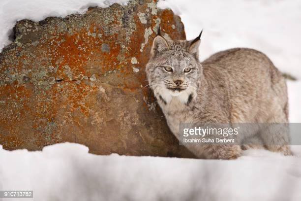 adult canadian lynx is staring into space with an empty eyes. - canadian lynx stock pictures, royalty-free photos & images