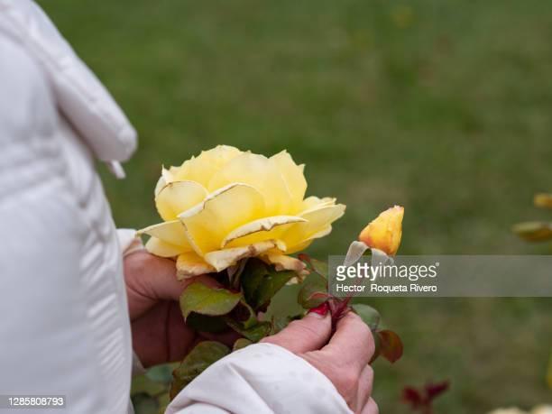 adult caucasian woman with white hair and a white jacket smelling a yellow rose in the garden - hector vivas fotografías e imágenes de stock