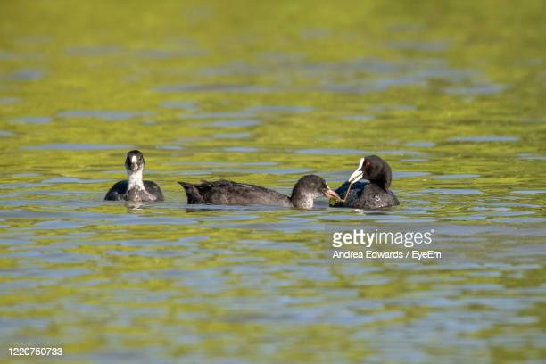 adult coot feeding pond vegetation and reeds to a juvenile coot duckling - st. albans stock pictures, royalty-free photos & images