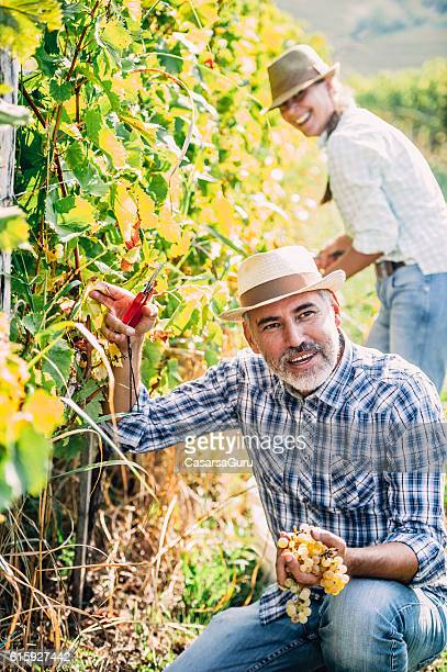 Adult Couple Harvesting Ripe Grapes