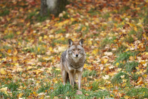 Adult Coyote in Autumn 183266940