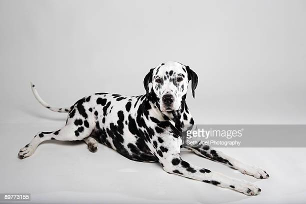 adult dalmatian lying in studio - dalmatian dog stock photos and pictures