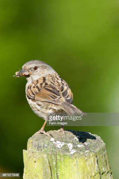 Adult Dunnock with food to take back to young in nest. .