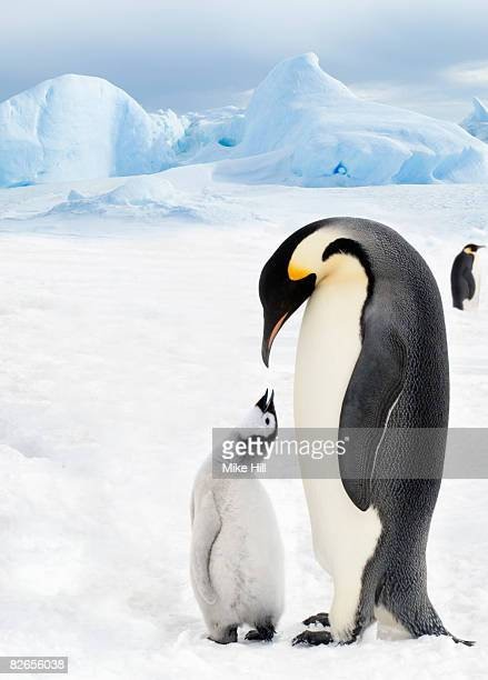 Adult Emperor Penguin and chick