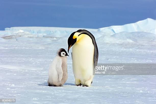adult emperor penguin and chick - wasserform stock-fotos und bilder