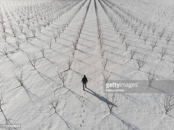 Adult farmer walking at his bare young tree orchard covered with snow on sunny winter day. Aerial view.