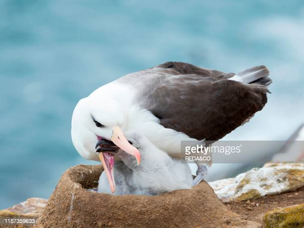 Adult feeding chick on tower shaped nest Blackbrowed albatross or blackbrowed mollymawk South America Falkland Islands January
