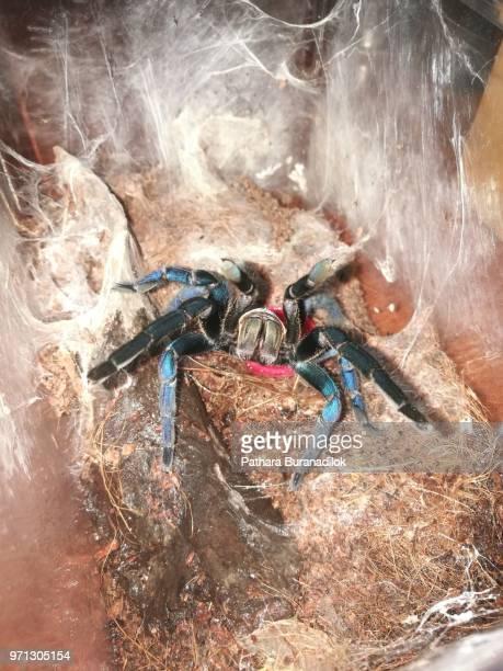 adult female cobalt blue tarantula - pedipalp stock photos and pictures