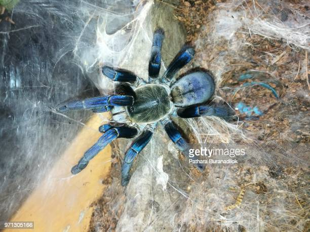 Adult female Cobalt blue tarantula