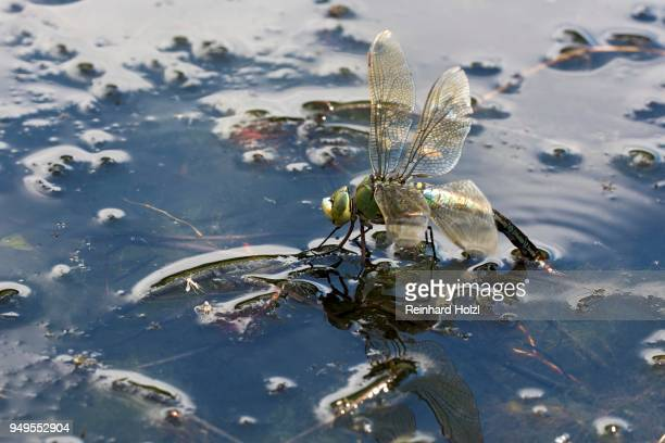 adult female emperor dragonfly (Anax imperator), laying eggs on water, Burgenland, Austria