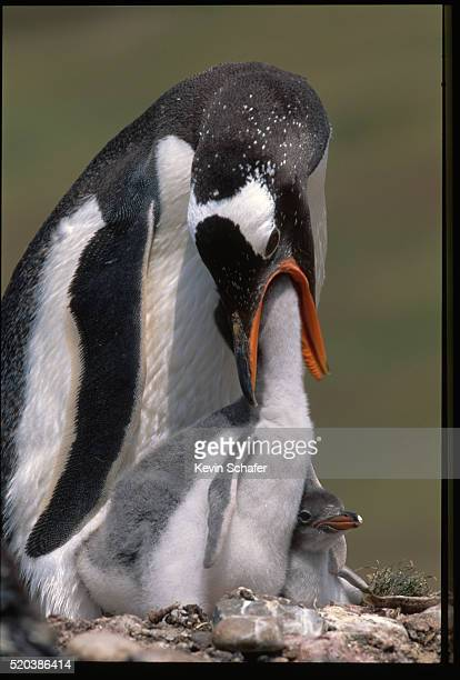 adult gentoo penguin feeding young - atlantic islands stock pictures, royalty-free photos & images