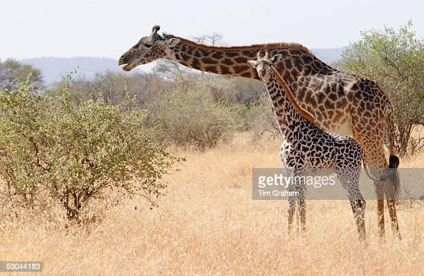 Adult giraffe and calf feeding in Grumeti Tanzania