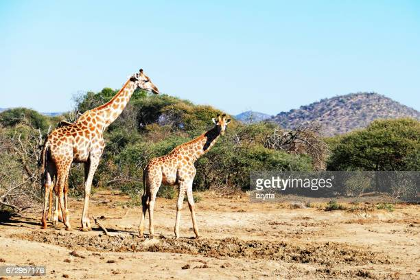 Adult giraffe and youngster  in the Madikwe Game Reserve in South Africa