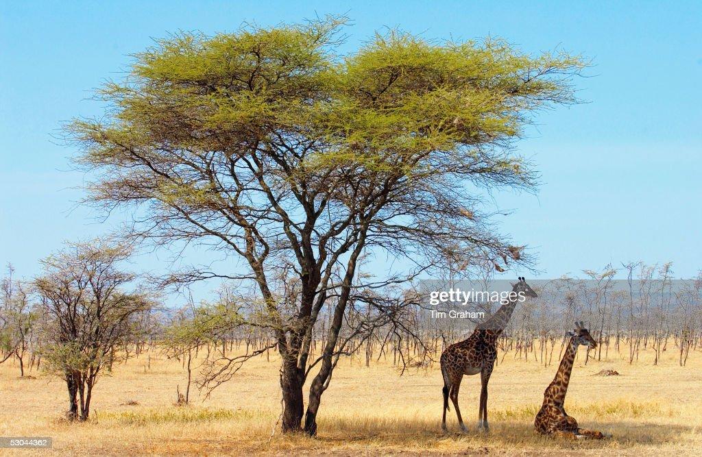 Giraffes, Serengeti, Tanzania : News Photo