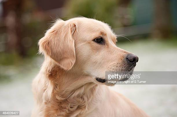 adult golden - golden retriever stock photos and pictures