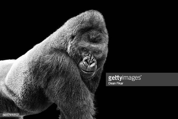 adult gorilla on black - gorilla stock pictures, royalty-free photos & images