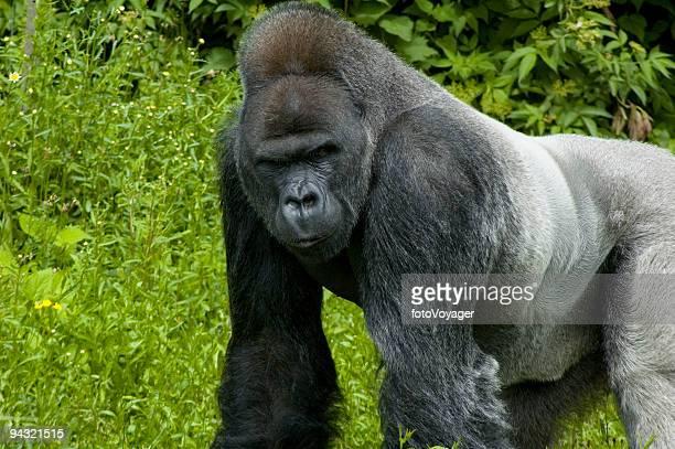 gorila de adultos - gorila lomo plateado fotografías e imágenes de stock