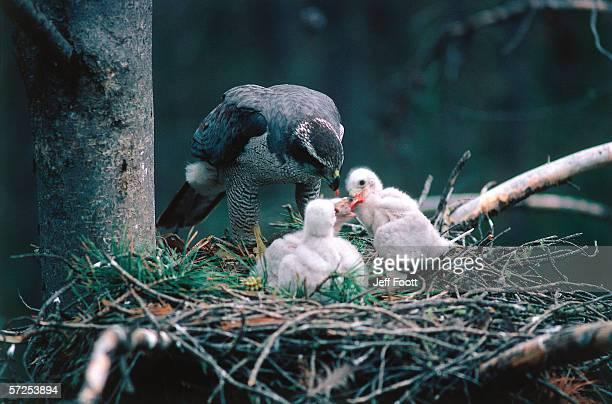 Adult goshawk feeding its chicks. Accipiter gentilis. Wyoming, North America.