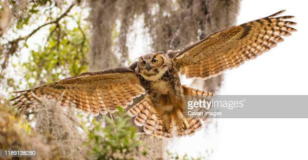 adult great horned flies down from high branch - great horned owl stock pictures, royalty-free photos & images