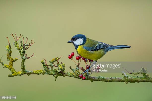 Adult Great Tit perched on hawthorn branch