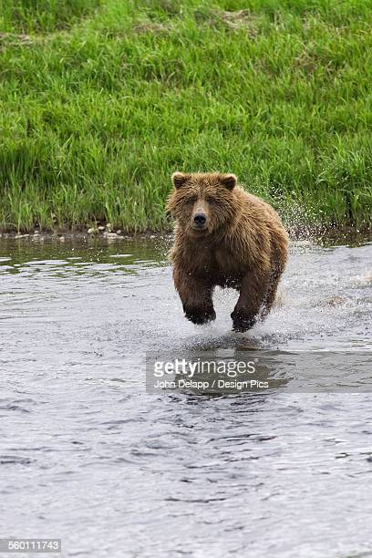 Adult Grizzly Bear Charges Into Mikfik Creek To Catch Salmon At Mcneil River State Game Sanctuary During Summer In Alaska