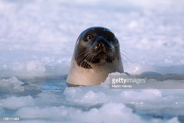 Adult Harp Seal, Phoca groenlandica, at breathing hole in ice. Gulf of St. Lawrence. Canada
