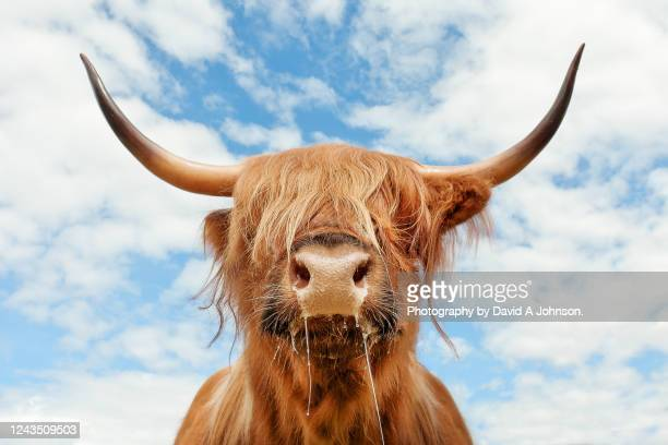 adult highland cattle portrait. - highland cattle stock pictures, royalty-free photos & images