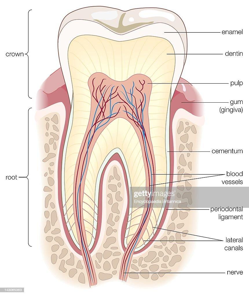 Adult Human Molar : ニュース写真