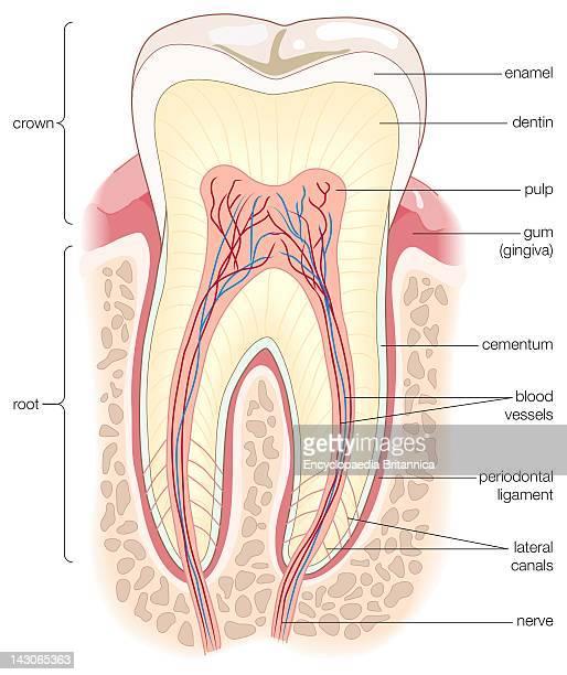 Adult Human Molar, Cross Section Of An Adult Human Molar.