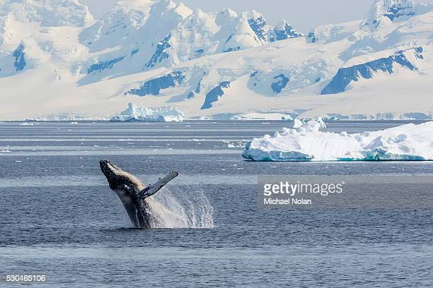 adult humpback whale (megaptera novaeangliae) breaching in the gerlache strait, antarctica, polar regions - antarctique photos et images de collection