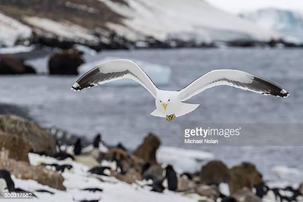 adult kelp gull (larus dominicanus) in flight at brown bluff, antarctic sound, antarctica, polar regions - antarctic sound stock pictures, royalty-free photos & images